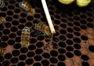 Amerikanische Bienenfaulbrut