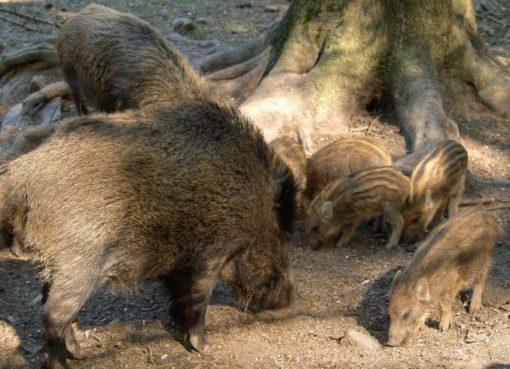 Wildschwein (Sus scrofa): Bache mit Frischlingen