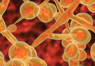 Stark vergrößerte Visualisierung von Candida auris