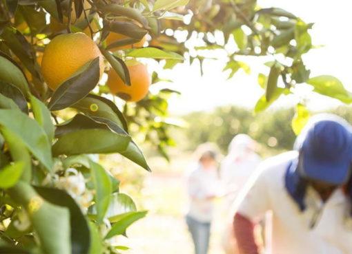 Nachhaltig produzierter Orangensaft