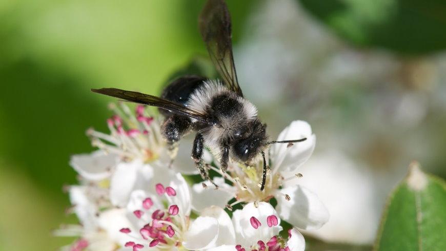 Frühlingspelzbiene auf Aroniablüte