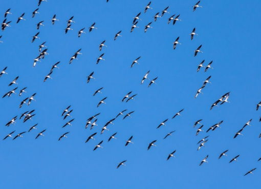 Zugvögel: Wildgänse